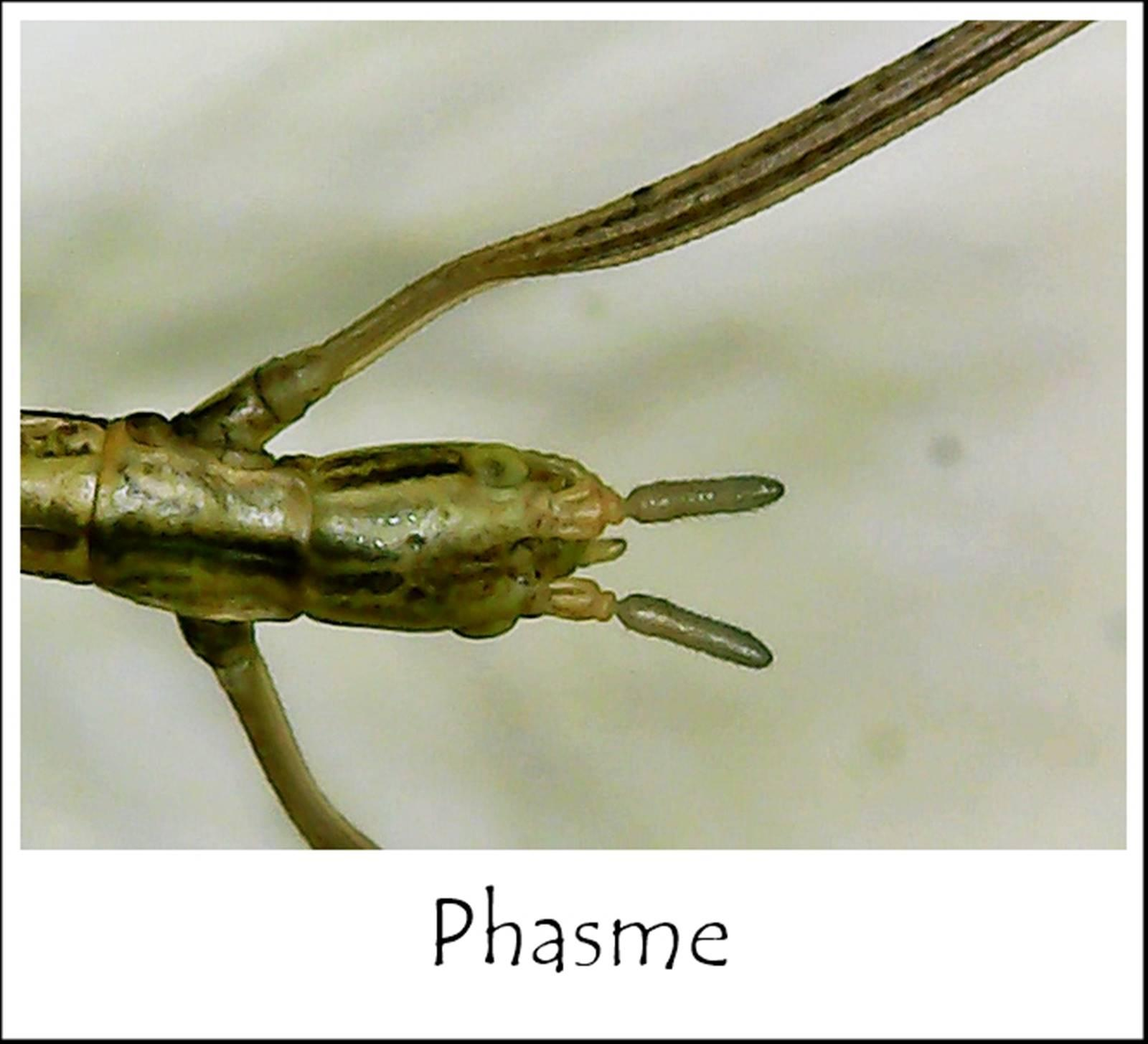 Phasme