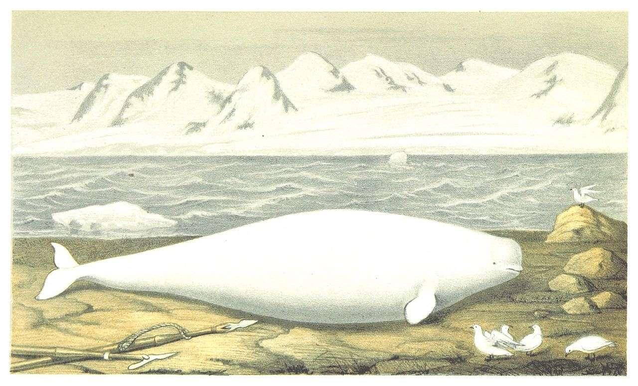 1867 p077 vitval delphinapterus leucas