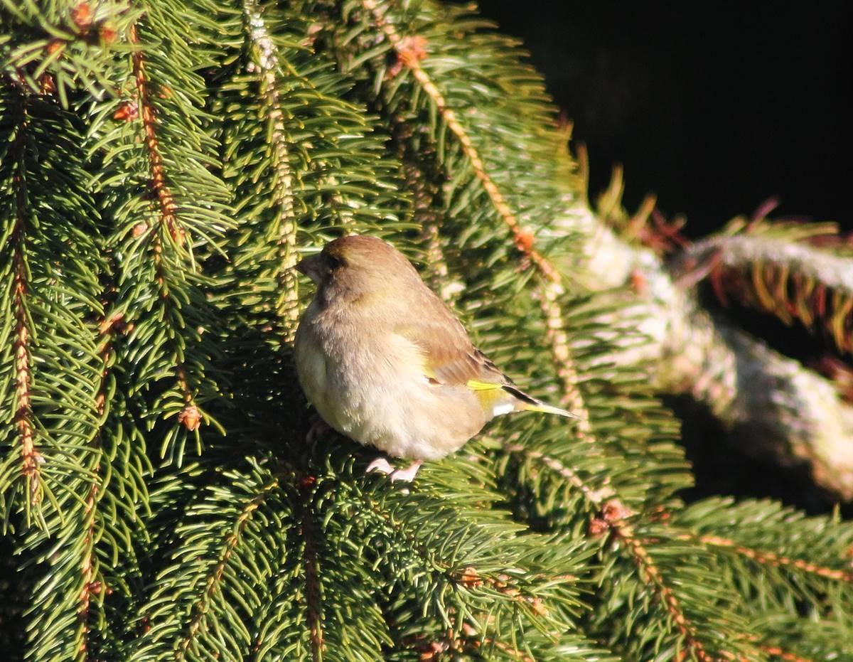 Instruction pinson des arbrespinson femelle 23 02