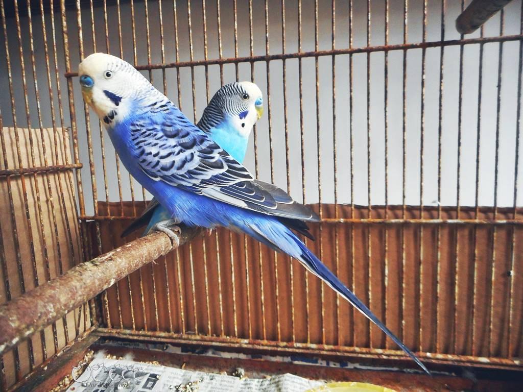 Perruche bleu